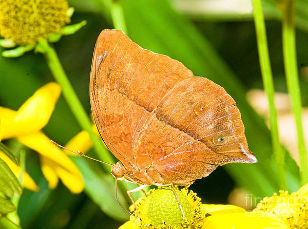 Photograph - Butterfly Mimicry by Millard H Sharp
