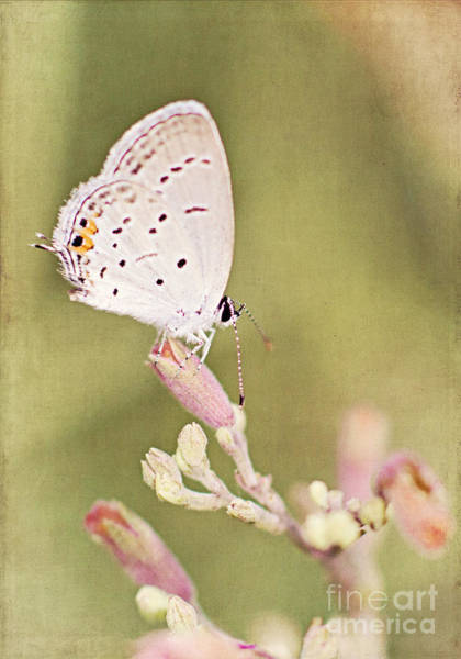 Photograph - Butterfly On A Bud by Pam  Holdsworth