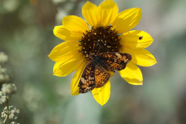 Little Things Photograph - Butterfly On A Flower by Jeff Swan