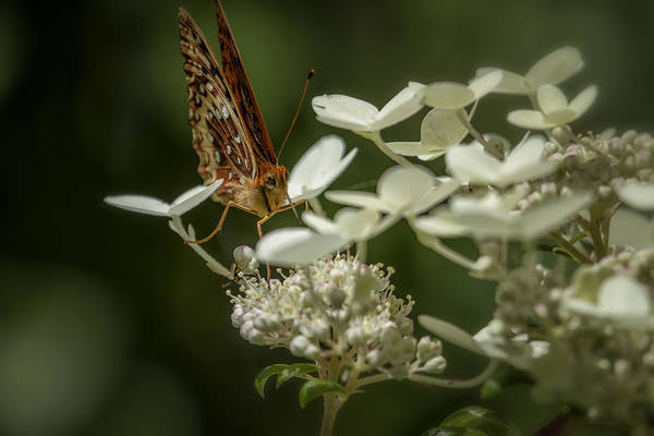 Photograph - Butterfly On A Hydrangea - Great Spangled Fritillary No. 1 by Belinda Greb
