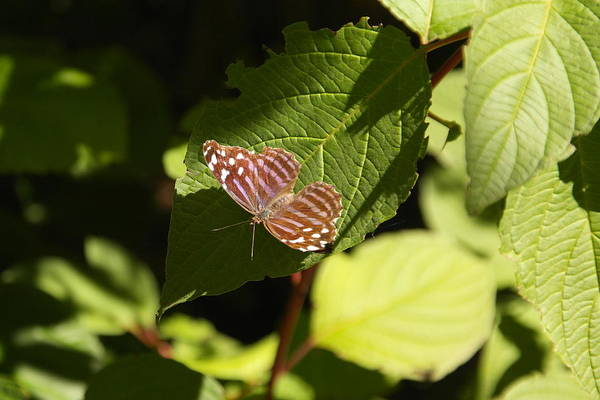 Living Things Photograph - Butterfly On A Leaf by Jeff Swan