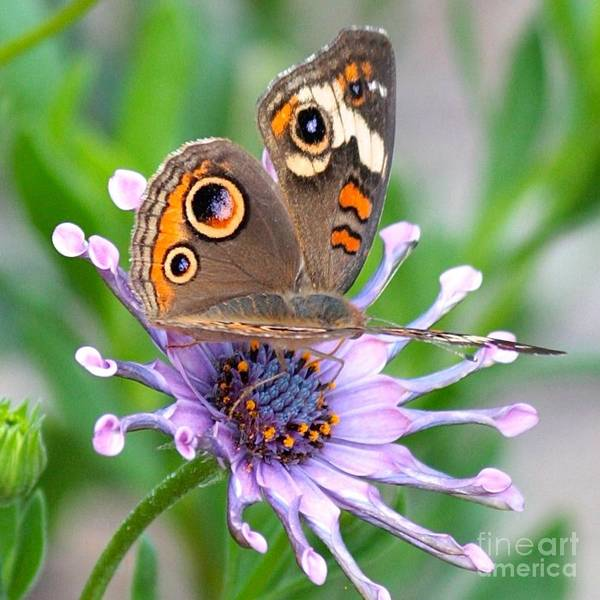 Photograph - Butterfly On African Daisy by Carol Groenen