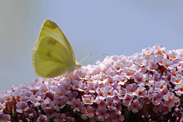 Photograph - Butterfly On Buddleia by Tony Murtagh