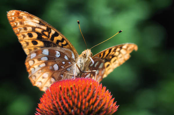 Wall Art - Photograph - Butterfly On Coneflower by Lori Coleman