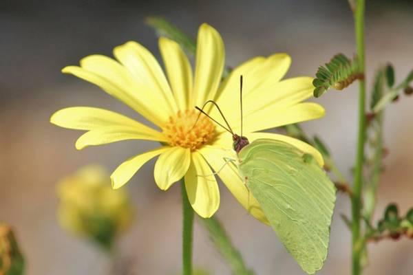 Photograph - Butterfly On Daisy by Cynthia Guinn
