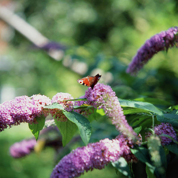 Butterfly Bush Wall Art - Photograph - Butterfly On Flowers by Sheila Terry/science Photo Library