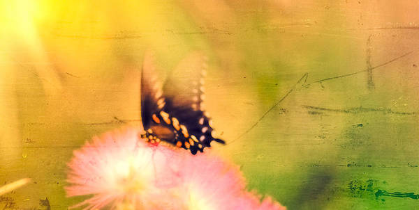 Photograph - Butterfly On Mimosa by Kim Henderson