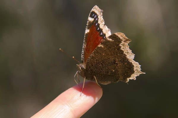 Photograph - Butterfly On My Finger by Peggy Collins