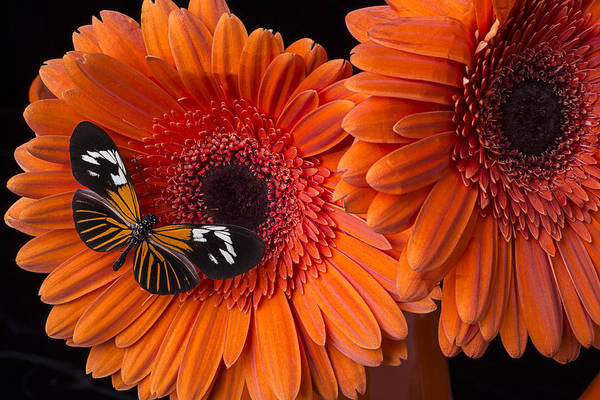 Mum Photograph - Butterfly On Orange Mums by Garry Gay