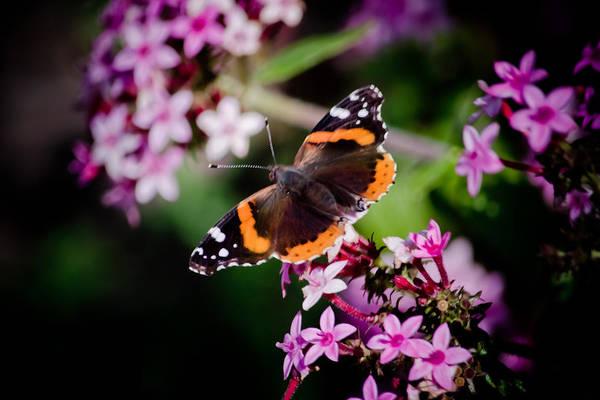 Butterfly On Penta Art Print