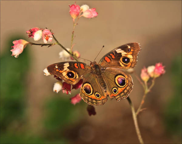 Photograph - Butterfly On Pink by Beth Sargent