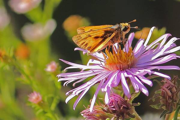 Photograph - Butterfly On Purple Daisy by Angela Murdock