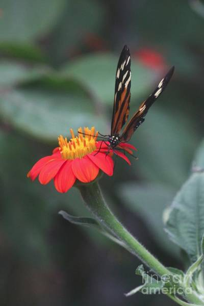 Photograph - Butterfly On Red Flower by Jeremy Hayden
