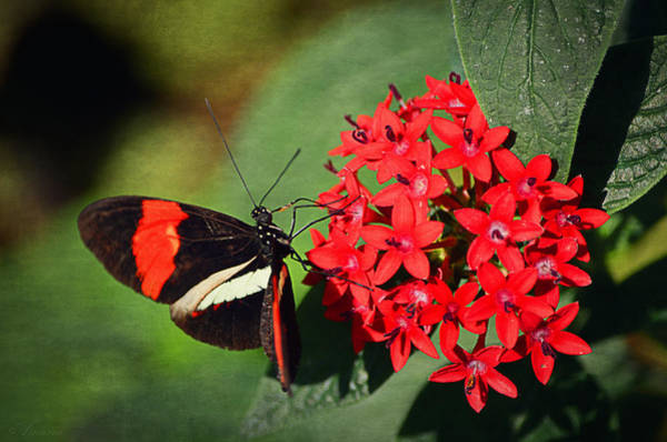 Butterfly On Flower Digital Art - Butterfly On  Red Flowers by Maria Angelica Maira