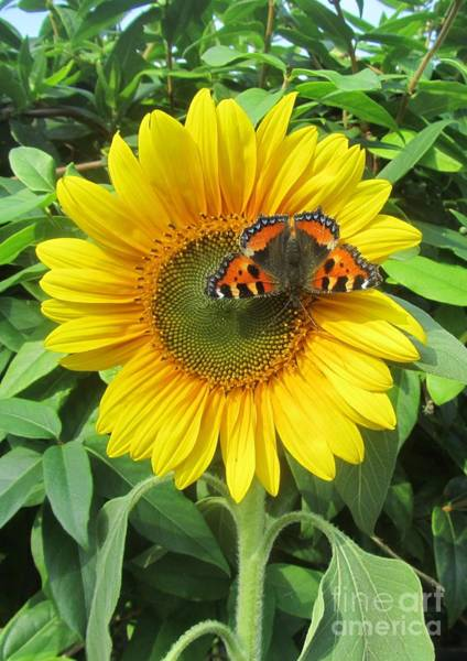 Wall Art - Photograph - Butterfly On Sunflower by Jeepee Aero
