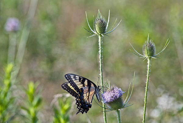 Butterfly On Thistle Art Print