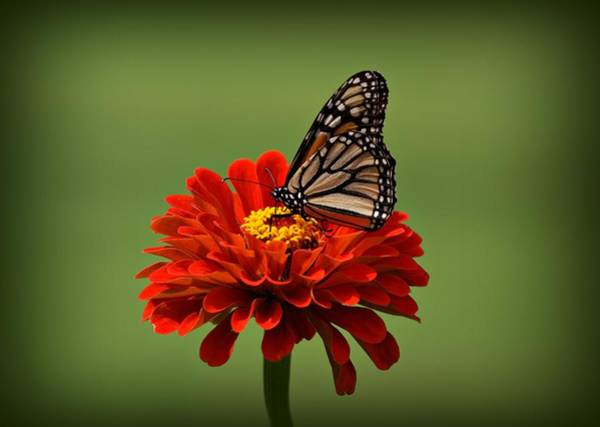 Photograph - Butterfly On Zinnia by Sandy Keeton