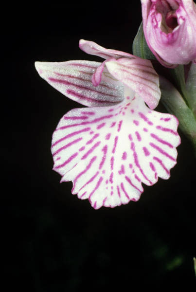 Orchis Photograph - Butterfly Orchid Flower by Paul Harcourt Davies/science Photo Library