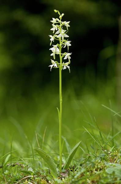 Pyrenees Photograph - Butterfly-orchid (platanthera Bifolia) by Bob Gibbons