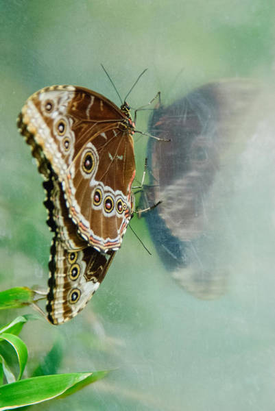 Photograph - Butterfly Reflection by Tam Ryan