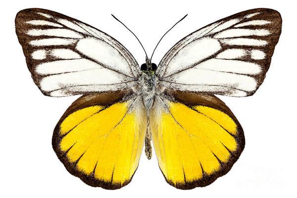 Cepora Photograph - Butterfly Species Cepora Aspasia  by Pablo Romero