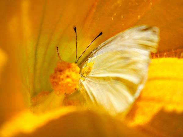 Photograph - Butterfly Squash Flower by Candice Trimble