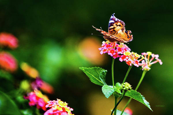 Photograph - Butterfly Three by Steven Llorca
