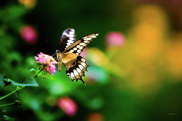 Photograph - Butterfly Two by Steven Llorca