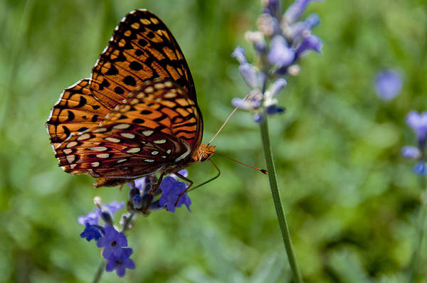Photograph - Butterfly Visit by Ron White