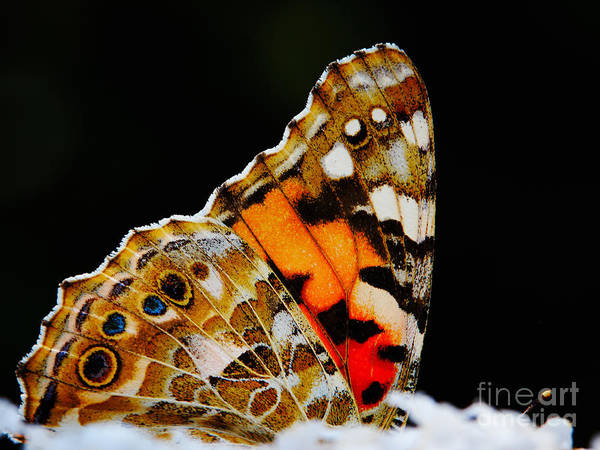 Photograph - Butterfly Wings by Nick  Biemans