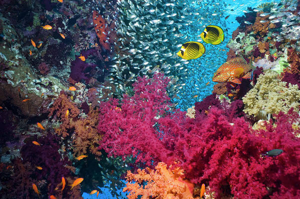 Raccoon Photograph - Butterflyfish In Coral Reef Scenery by Georgette Douwma