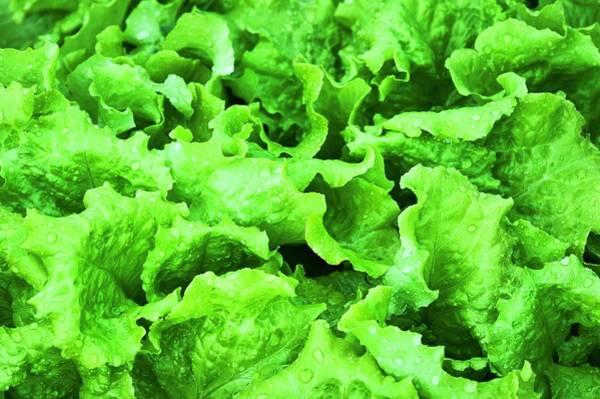 Wall Art - Photograph - Butterhead Lettuce (lactuca Sativa) by John Greim/science Photo Library