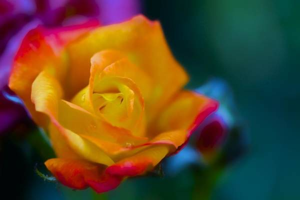 Rainbow Rose Wall Art - Photograph - Butterscotch Rose by Jade Moon