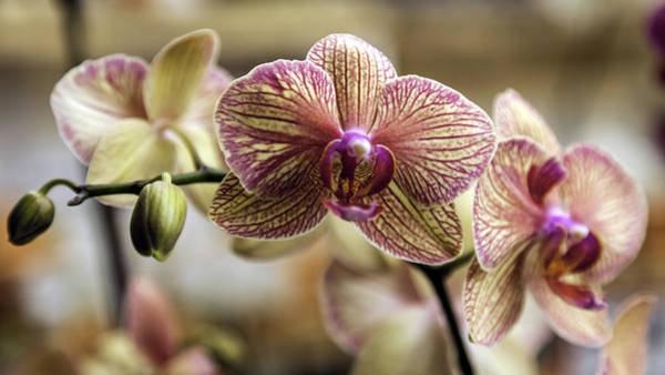 Photograph - Buttery Yellow And Magenta Orchids by Lynn Palmer
