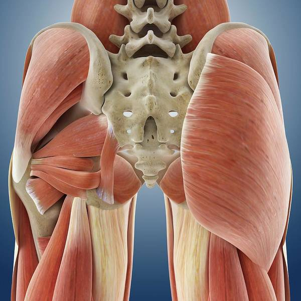 Musculoskeletal System Wall Art - Photograph - Buttock Muscles by Springer Medizin