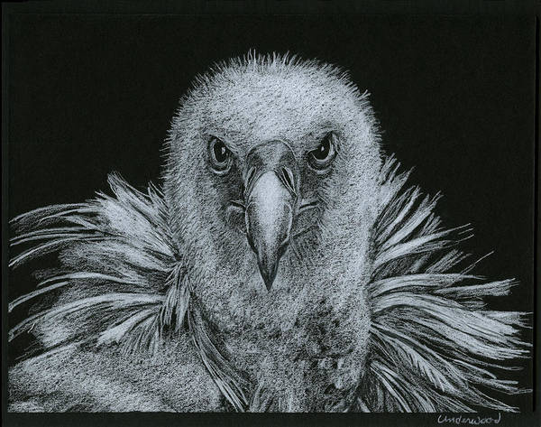 Drawing - Buzzard by William Underwood
