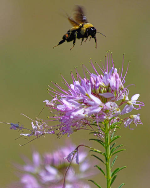 Photograph - Buzzing Around by Shane Bechler