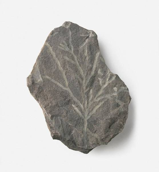 Extinct Photograph - Bythotrephis Plant Fossil by Dorling Kindersley/uig