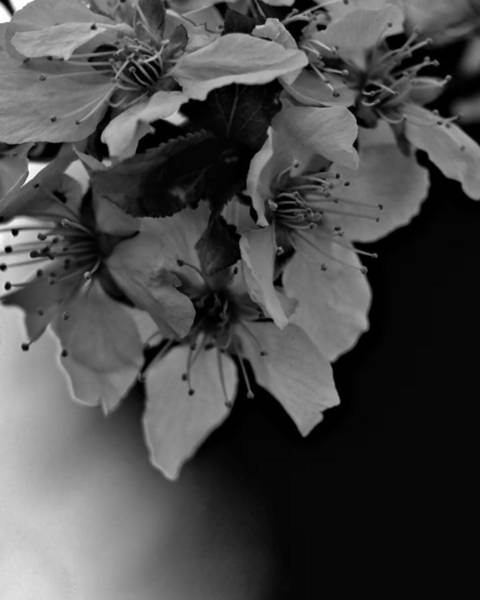 Photograph - Cab Apple Blossoms In Black N White by John Feiser