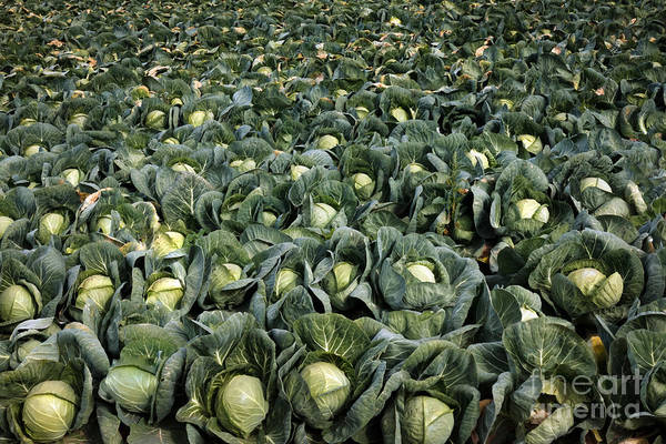 Wall Art - Photograph - Cabbage Farm by Robert Bales