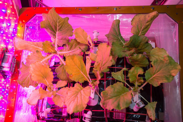 Photograph - Cabbage Grown On International Space by Science Source