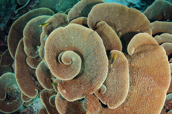 Cabbage Photograph - Cabbage Sheet Coral (agaricia by Pete Oxford