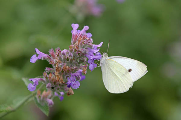 Photograph - Cabbage White by Juergen Roth