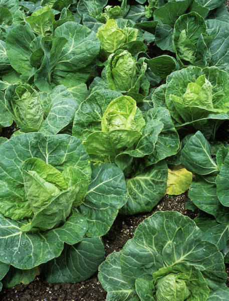 Vegetable Patch Wall Art - Photograph - Cabbages (brassica Oleracea 'pixie') by Geoff Kidd/science Photo Library