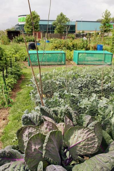 Vegetable Garden Photograph - Cabbages by David Woodfall Images/science Photo Library