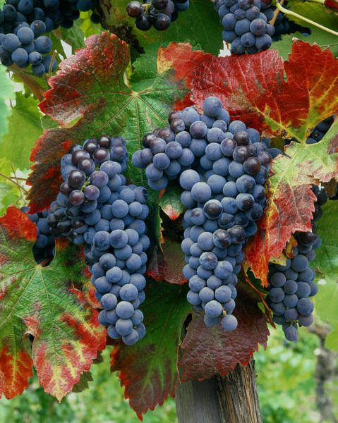 5b6374-cabernet Sauvignon Grapes At Harvest Art Print