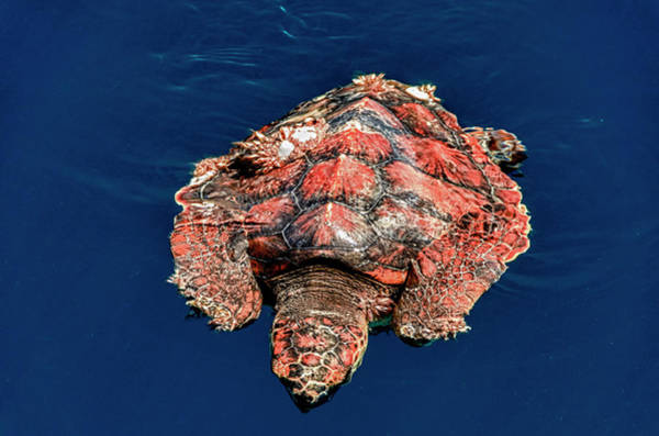 Sea Of Cortez Photograph - Cabo Pulmo, Mexico, Caretta Caretta by Mark Williford