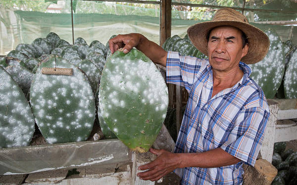 Opuntia Photograph - Cacti Farm For Cochineal Insects by Jim West