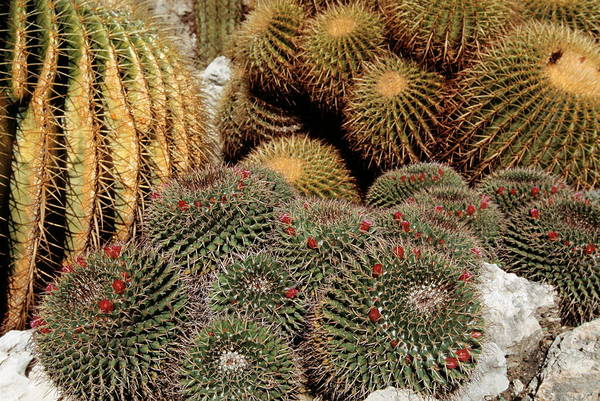 Golden Gardens Photograph - Cacti by Philippe Psaila/science Photo Library