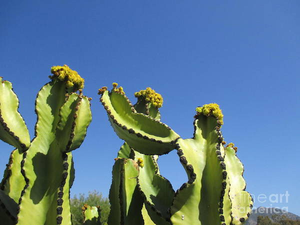 Photograph - Cacti With Yellow Flowers by Chani Demuijlder